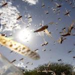 اولویت مبارزه با  آفت ملخ صحرائی علیرغم محدودیت های ناشی از کوید19